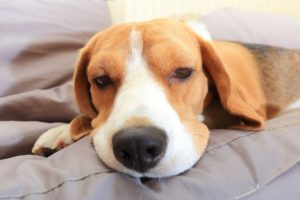 Previcox for Dogs – Uses, Dosage, and Side Effects